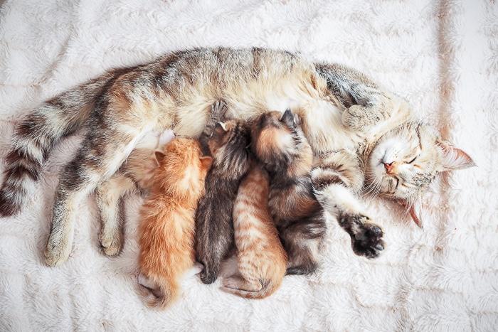 kitten sleeping and nursing with mother cat on floor