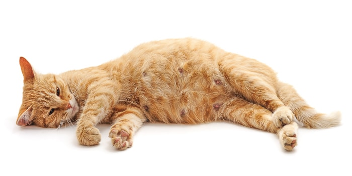 orange tabby cat laying on side with nipples visible