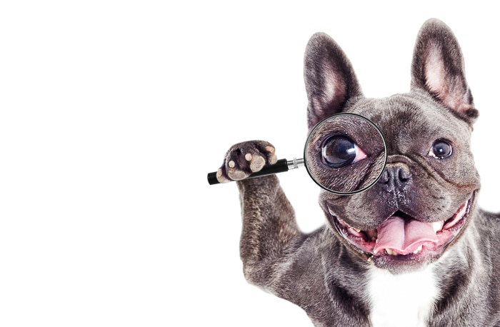 black french bulldog with magnifying glass