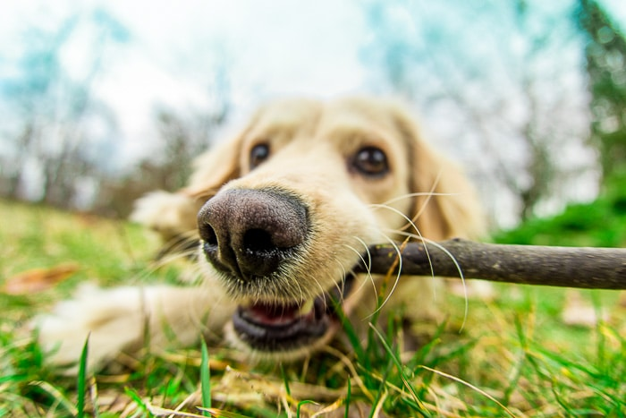 yellow lab golden retriever with stick in mouth