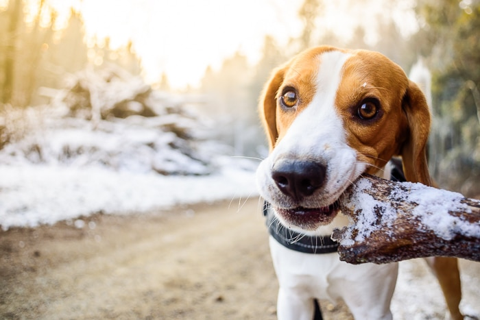 adult beagle with big branch stick in mouth
