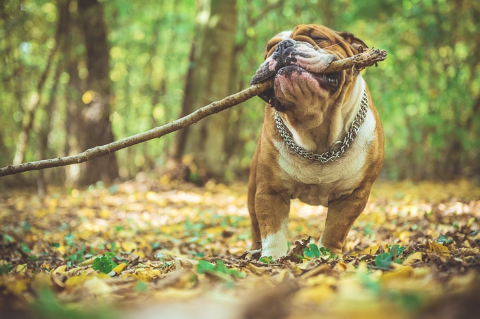 adult english bulldog with stick in mouth
