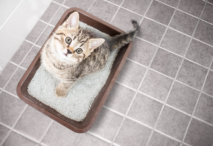 tabby kitten standing in litter box looking up at camera