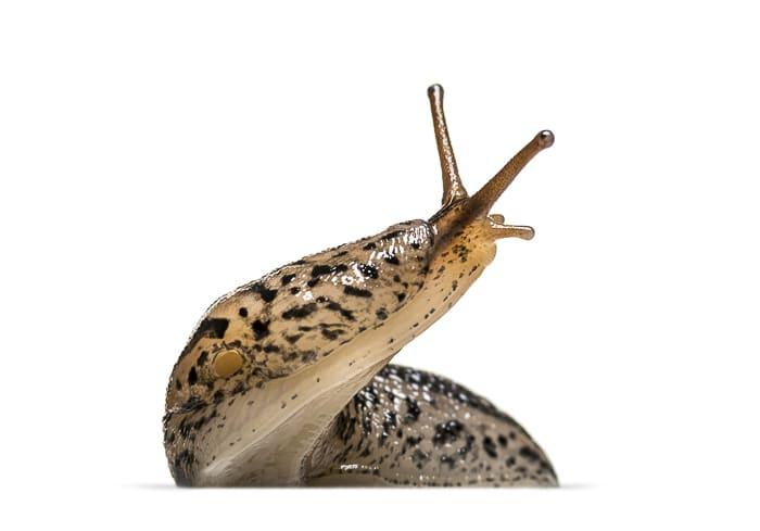 closeup of slug head and body with white background