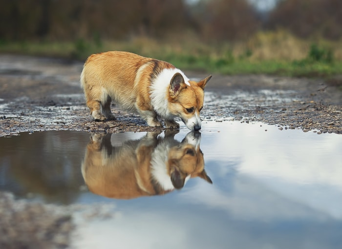 corgi drinking water out of a puddle