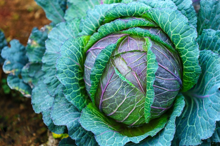 close up of a green and purple cabbage