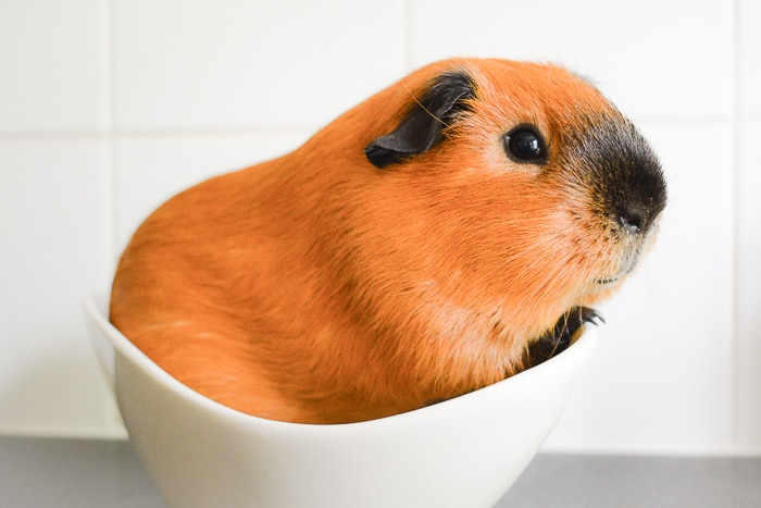 orange and black guinea pig in white bowl