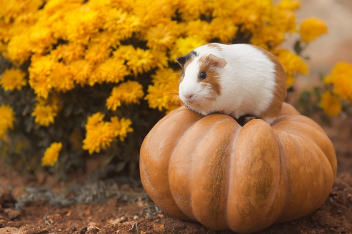 red and white guinea pig standing on a pumpkin