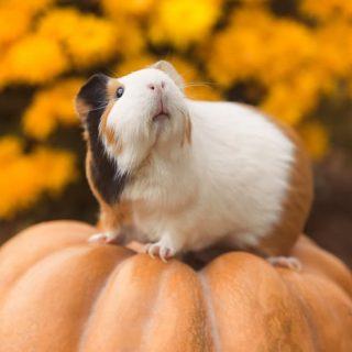 How to Feed Pumpkin to Guinea Pigs