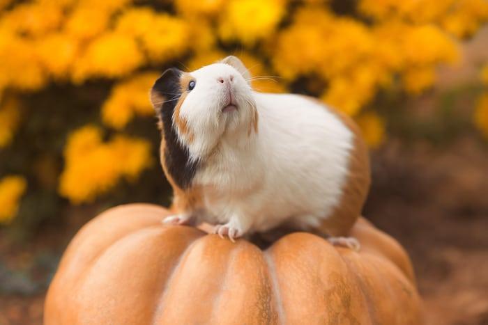 tricolored guinea pig on a pumpkin