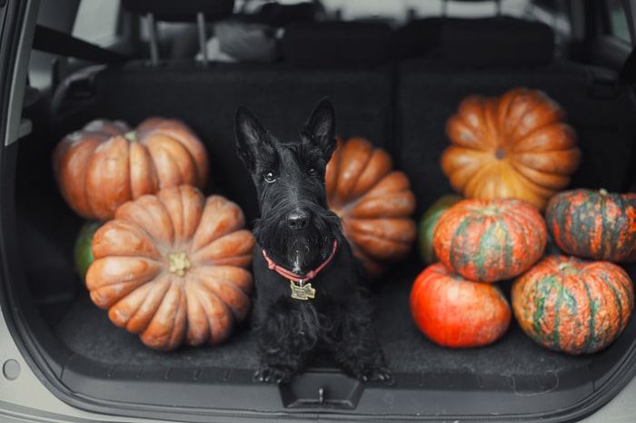 Scottish terrier in back of SUV with pumpkins