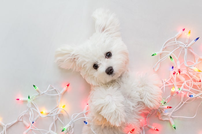 white dog wrapped up in lit christmas lights