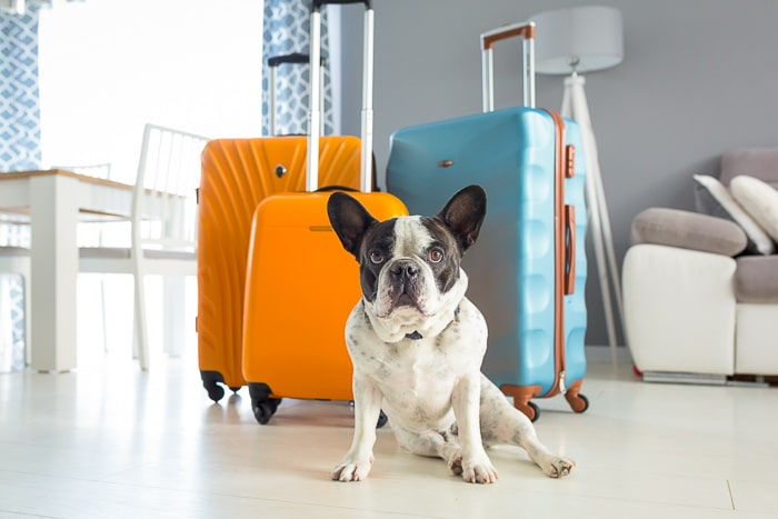 French bulldog sitting in front of suitcases