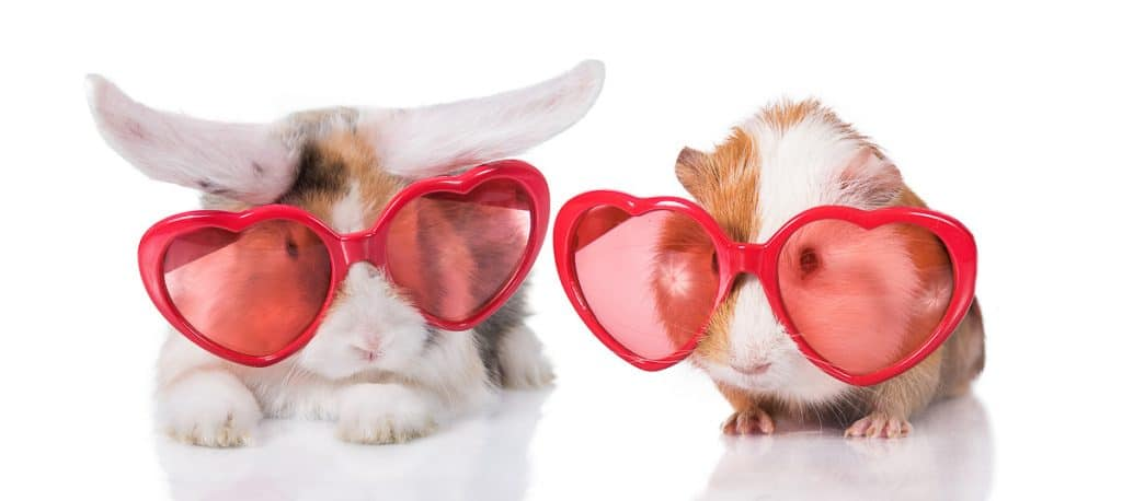 rabbit and guinea pig wearing sunglasses
