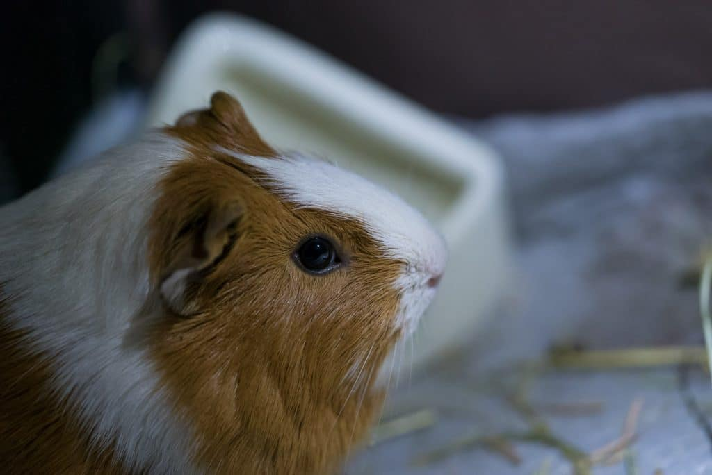 brown and white guinea pig in the dark