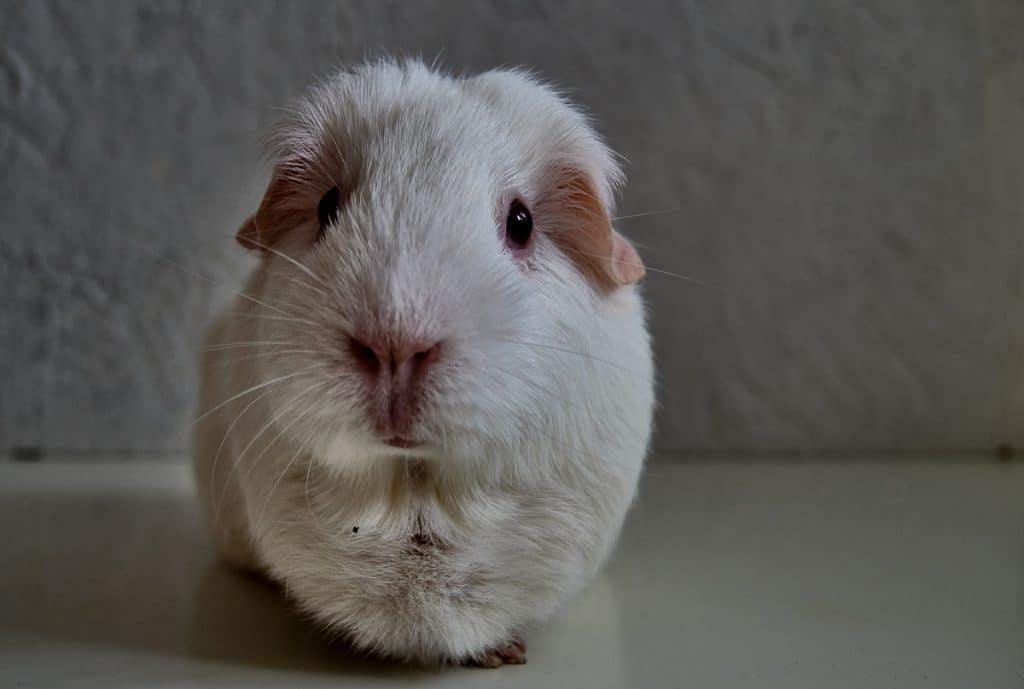 white guinea pig in dark room