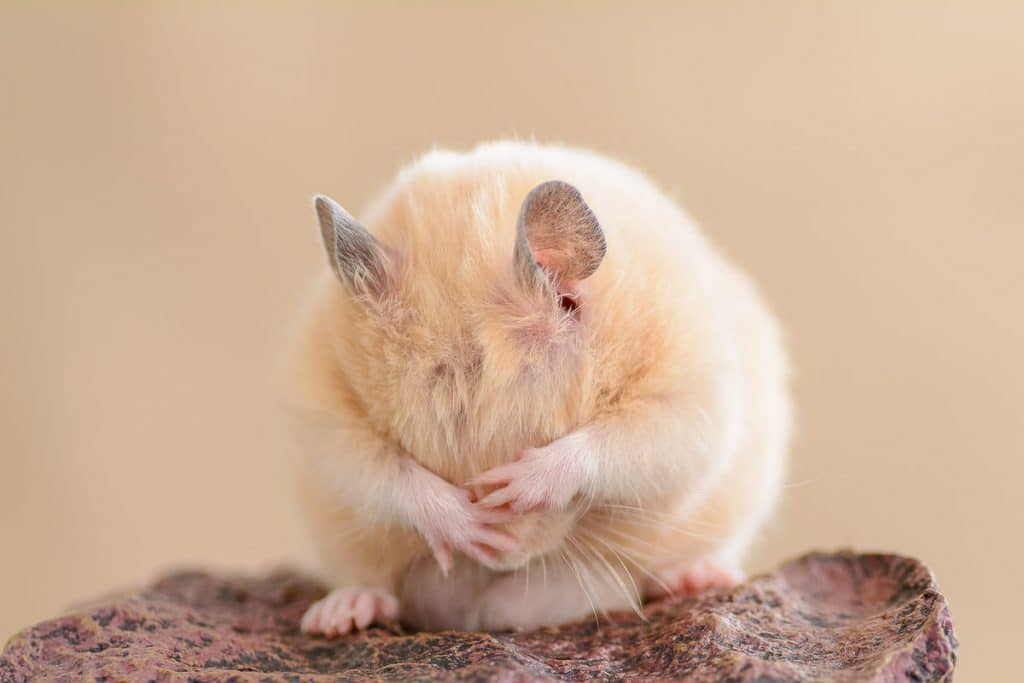 golden hamster with paws covering eyes