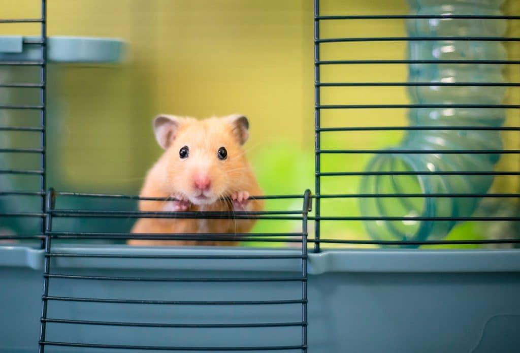orange hamster peeking out of hamster cage