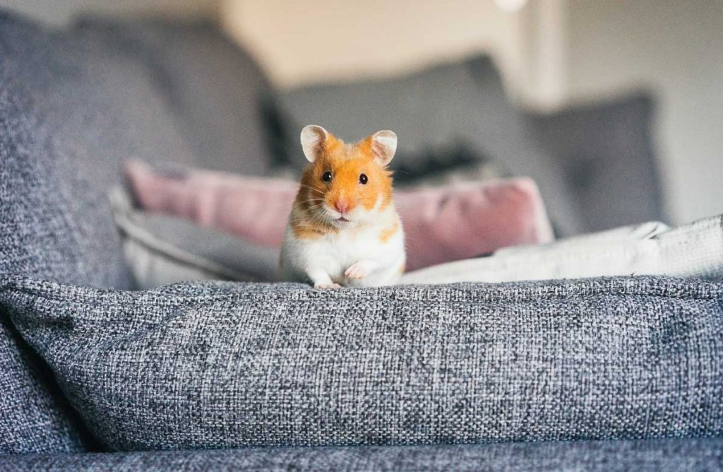 red and white hamster standing on arm of couch