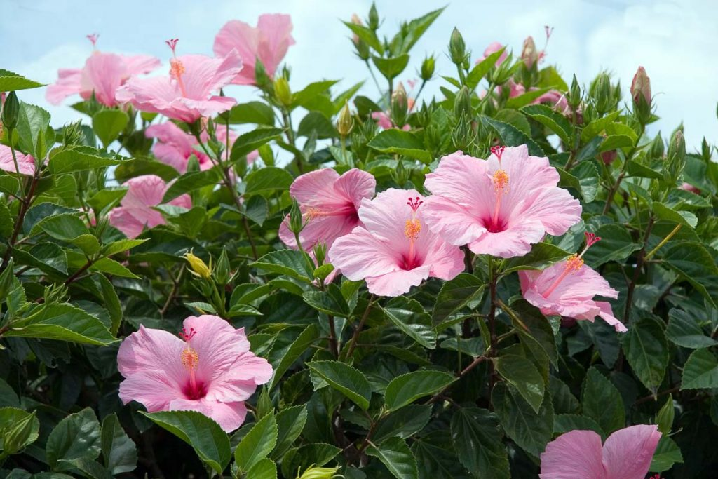 thick pink hibiscus plant