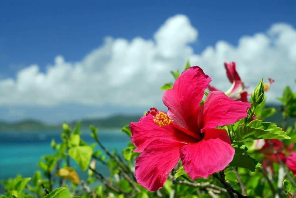 pink hibiscus flower in tropics