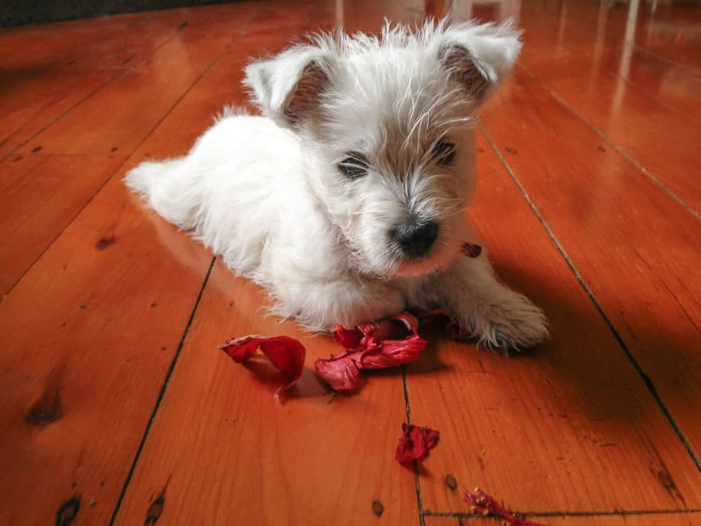 white puppy laying beside chewed up hibiscus petals