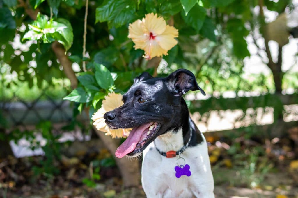 terrier dog beside yellow hibiscus plant