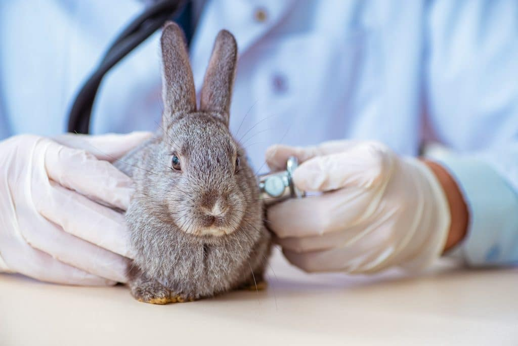 rabbit in veterinarian hands and stethoscope at clinic