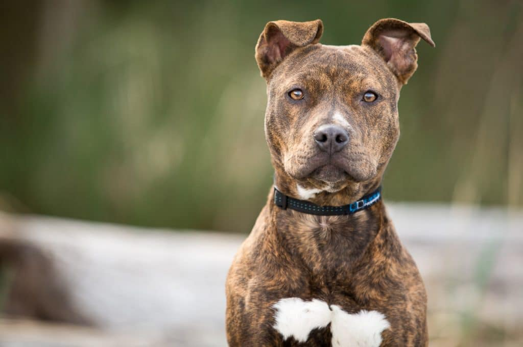 brindle pitbull with blue collar outside by trees