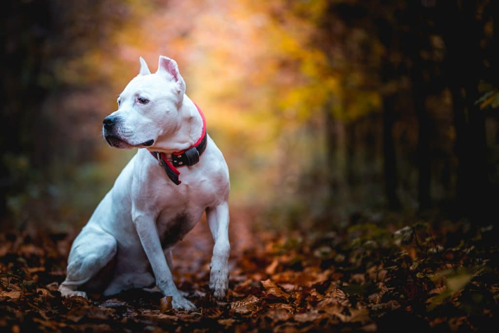 white pitbull with red collar on outdoor hiking trail
