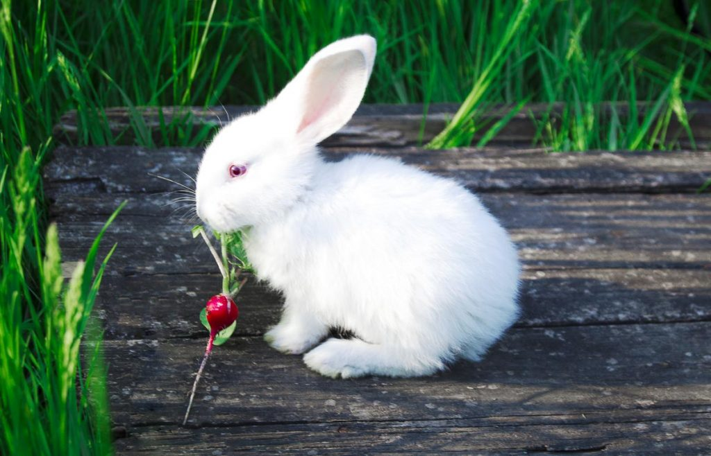 white rabbit with red radish in mouth