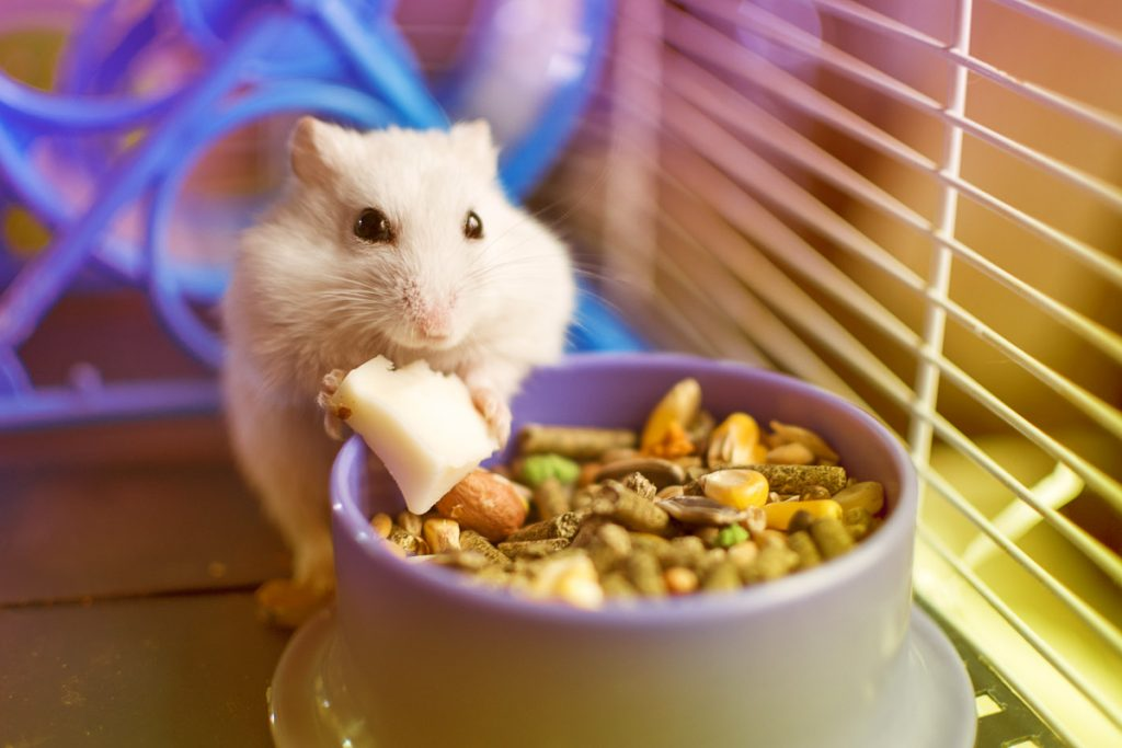 cream hamster in cage eating cheese slice out of food bowl