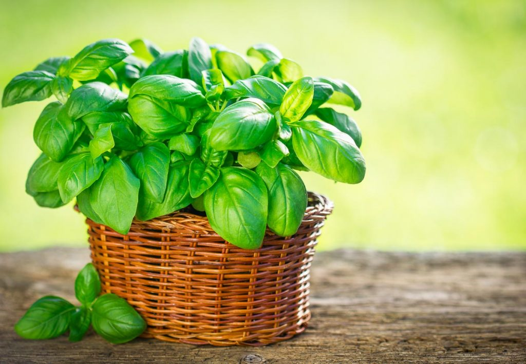 basil plant in wicker basket