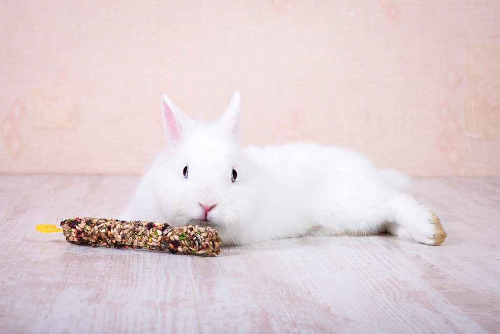 white rabbit laying on side with corn cob