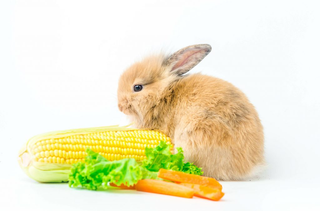 golden rabbit with yellow corn cob and carrot