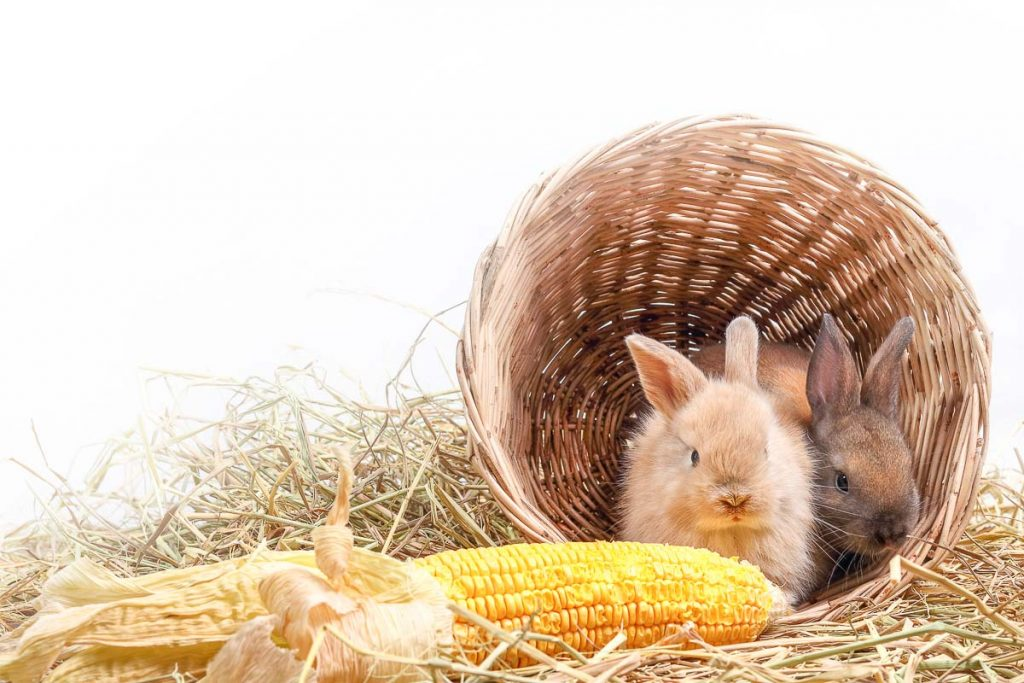 two brown rabbit in wicker basket with corn cob beside basket
