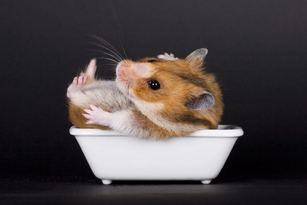 red and white hamster on their back inside a small white bathtub